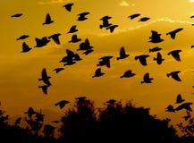 över fåglar flockas flygsolnedgången Arkivfoton