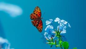 Över huvudet flyg för monarkfjäril Arkivfoton