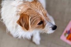 Över huvudet sammanträde för den siktsstålarrussel hunden på matta bredvid behandla som ett barn barnboken arkivfoton