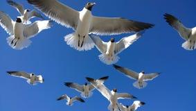 över huvudet seagulls Royaltyfri Bild