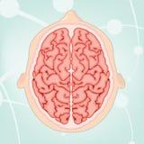 över huvudet sikt för hjärna stock illustrationer