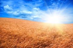 över solskenwheatfield Arkivbilder