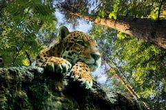 Överfalla från bakhåll leopard Royaltyfria Bilder