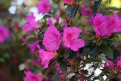 Överflöd av rosa blommor som fotograferas i madeiran, Portugal arkivfoto