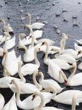 Överflöd av svanar och seagulls arkivfoton
