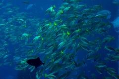 Överflöd av tropiska fiskar som simmar i akvariet Royaltyfri Bild