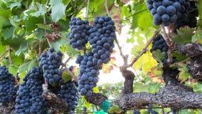 Överflödande druvor på vinrankan En panorera Closeup stock video