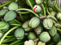 Överflödande överflödande Poppy Buds i ny blommandetillväxt Royaltyfri Fotografi