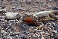 Övergående grusväg för Agama, australisk vildmark Royaltyfria Foton