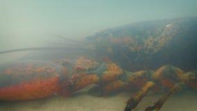 Övergående hummer på havsgolv lager videofilmer
