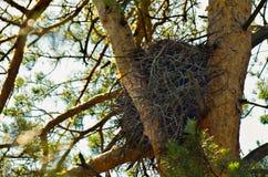Övergav tomma eagle's bygga bo bland sörjaträdfilialerna Royaltyfri Foto
