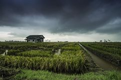 Överge trähuset som omges av risfältfältet med dramatisk molnregnbakgrund arkivfoton