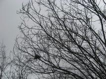 Övergett fågelrede på karga trädfilialer i regnigt tidigt vårväder med mörka Grey Sorrow Background royaltyfria foton