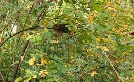 Övergett fågelrede som döljas i tjocka buskar royaltyfri foto