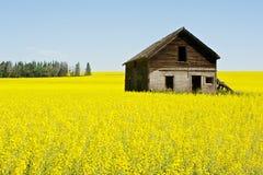 Övergett lantbrukarhem i canola Arkivfoton
