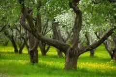 övergiven äpplefruktträdgård Fotografering för Bildbyråer