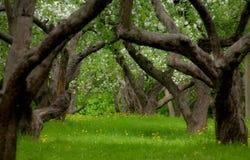 övergiven äpplefruktträdgård Arkivbilder