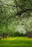 övergiven äpplefruktträdgård Royaltyfria Bilder