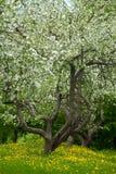övergiven äpplefruktträdgård Royaltyfri Bild