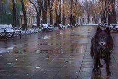 Övergiven tillfällig hund på en våt kall höstboulevard royaltyfri foto