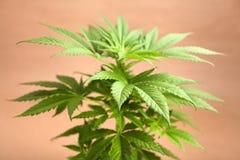 Överkant av cannabisväxten Arkivbilder