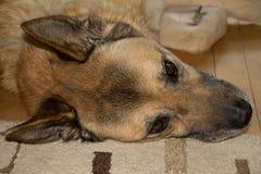 Överkant av den Head sikten av den höga hunden Royaltyfria Foton