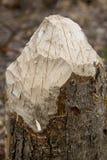 Överkant av en stubbe som gnagas av en bäver Fotografering för Bildbyråer