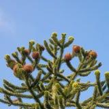 Överkant av ett träd för apapussel Royaltyfri Foto