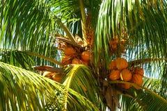 Överkant av kokosnötpalmträdet, Miami Beach Royaltyfria Foton