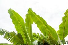 Överkant av sidor för bananträd på himmelbakgrund Arkivfoto