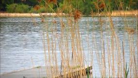 Överkant av träbryggan i sjön med gräs och vassen lager videofilmer