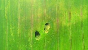 Överkant för flyg- sikt Flyga över ett fält av grönt vete på en ljus solig dag I mitt av de stora träden för fält två lager videofilmer