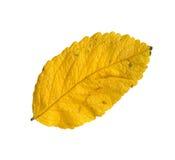 överkant för japansk leaf för höst rose surface Royaltyfri Bild