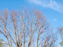 Överkanten av ett träd med inga blad och gör bar filialer med galanden och Fotografering för Bildbyråer