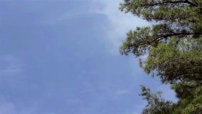 Överkanten av högväxt sörjer träd vinkar i vinden mot en blå himmel stock video