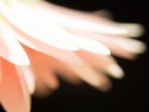 Överlappning av delikata kronblad av gerberaen Royaltyfria Foton