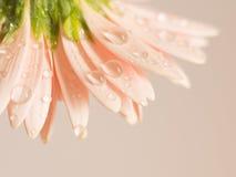 Överlappning av delikata kronblad av gerberatusenskönan Royaltyfri Bild