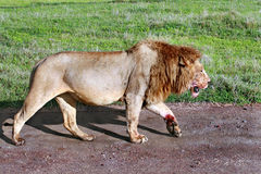 Övermätt lejon som gås tillbaka från lyckad jakt. Arkivbilder