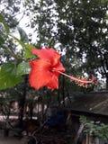 Överraska!! underbar röd Kina Rose In The filial av trädet arkivbild