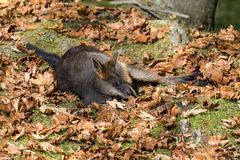 Översvämma vallabyen, bicolor Wallabia, är en av de mindre kängururna arkivfoton