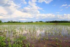 översvämmad cornfield Royaltyfri Bild