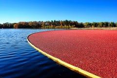 Översvämmad Cranberrymyr under skörd i New Jersey