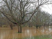 översvämmade träd Royaltyfria Foton