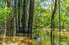 Översvämmade träd i amasonrainforesten, Brasilien Arkivbilder