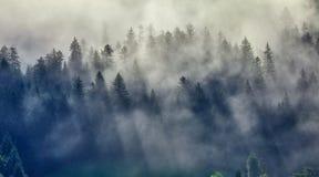 Överträffar granträd i skogmisten royaltyfria bilder