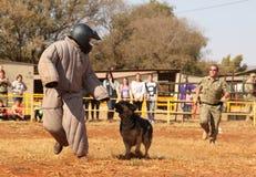 Övervaka den utbildade elsassiska hunden, den tagande vadderade rinnande mannen ner i sho Royaltyfri Fotografi
