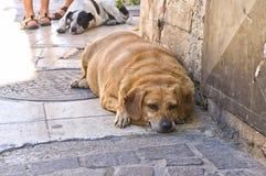 Överviktig hund som ligger på trottoar Arkivfoton