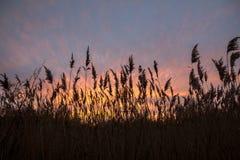 Övervintra aftonsolnedgången till och med högväxta gräs, Norfolk, England royaltyfri foto
