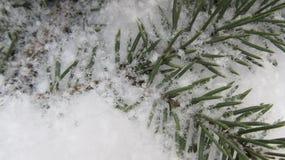 Övervintra bakgrund av filialer av julgranar i snön Arkivbilder
