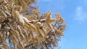 Övervintra bakgrund, den gula granen i snön och blå himmel Arkivbild